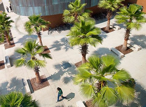 Palm trees grow on USF Tampa campus