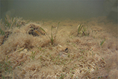 Dead seagrass in Florida Bay. Credit: FWC