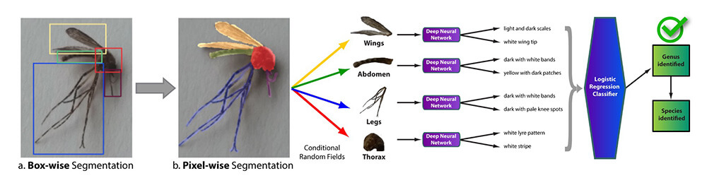 Graphic layout of mosquito anatomy used for artifical intelligence image collection.
