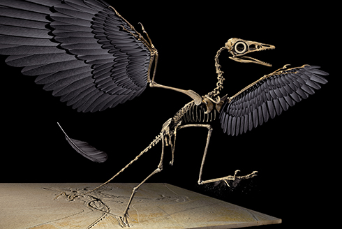 A drawking of the bird-like dinosaur, Archaeopteryx