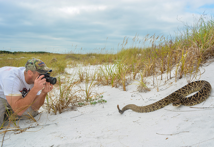 Mark Margres, assistant professor of biology photographs an Eastern Diamondback Rattlesnake at Caladesi Island, Florida.
