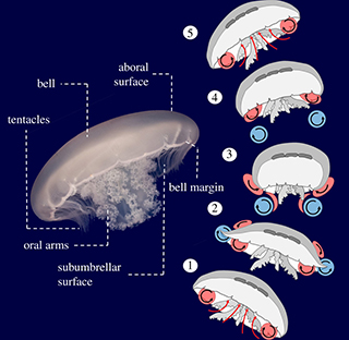 A diagram showing the anatomical features of a jellyfish and the vortex arrangement over the course of a swim cycle for the moon jellyfish.
