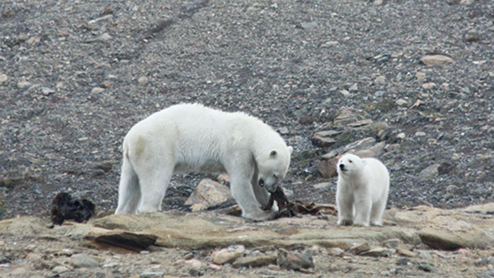 Polar bear mother and cub in the Arctic.