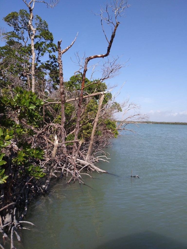 Photograph of broken and defoliated red mangroves from site visit in January 2019.